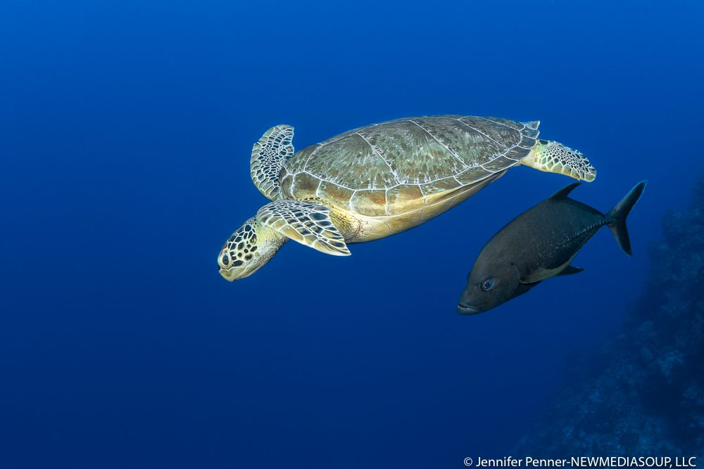Green sea turtle and trevally underwater in Little Cayman