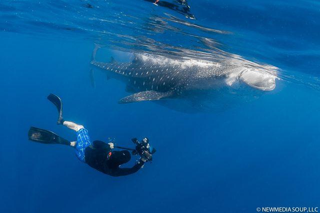 Newmediasoup_JenniferPenner_WhaleSharks2014-10