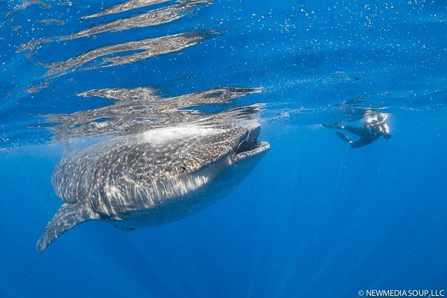 Newmediasoup_JenniferPenner_WhaleSharks2014-12