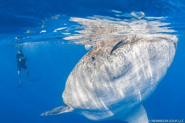 Newmediasoup_JenniferPenner_WhaleSharks2014-8